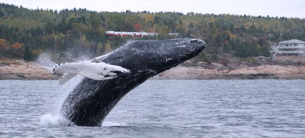 Baleine à Bosse Tadoussac