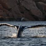 Queue de baleine