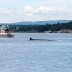 Observation de baleine près de Tadoussac