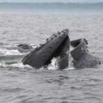 Une baleine à bosse qui se nourrit