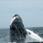 Baleine à bosse qui fait un  breach
