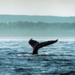 Baleine qui plonge dans les eaux du Saint-Laurent